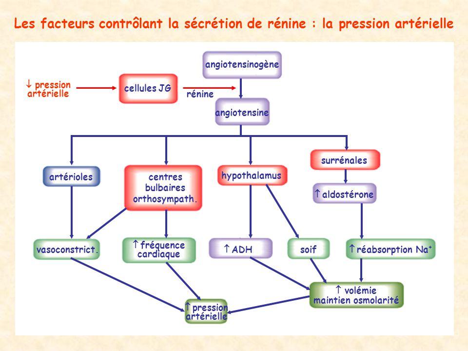 Les facteurs contrôlant la sécrétion de rénine : la pression artérielle angiotensine vasoconstrict. artérioles hypothalamus ADHsoif maintien osmolarit