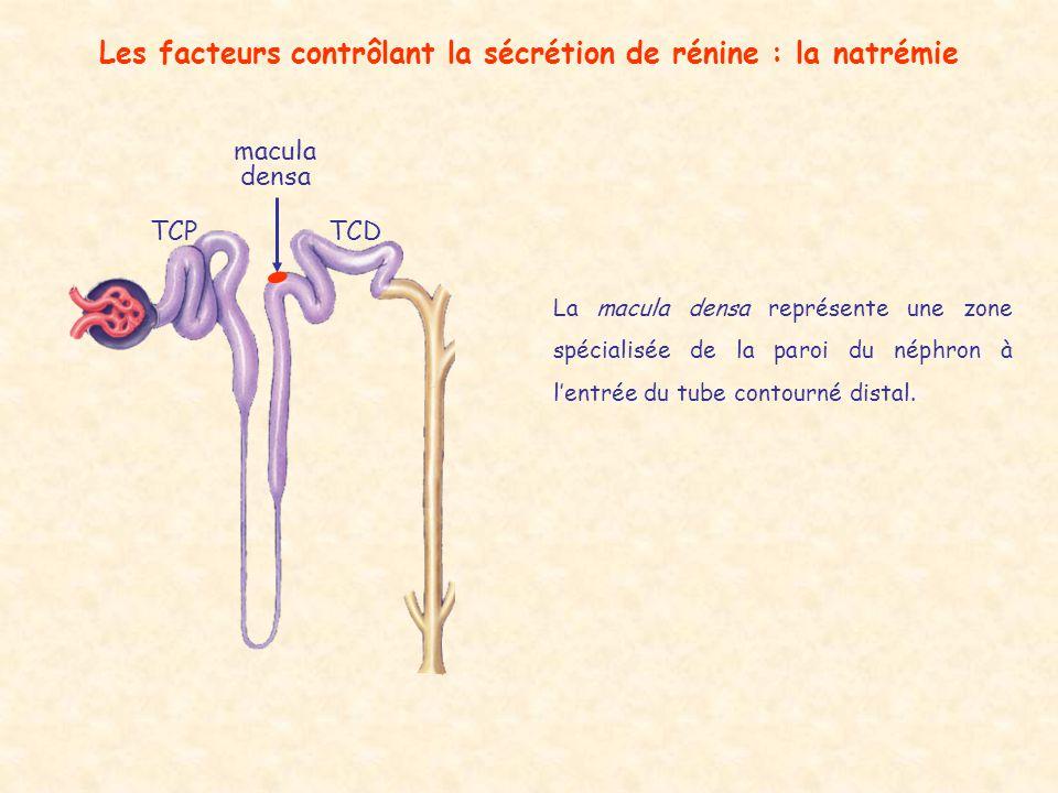 Les facteurs contrôlant la sécrétion de rénine : la natrémie TCDTCP macula densa La macula densa représente une zone spécialisée de la paroi du néphro