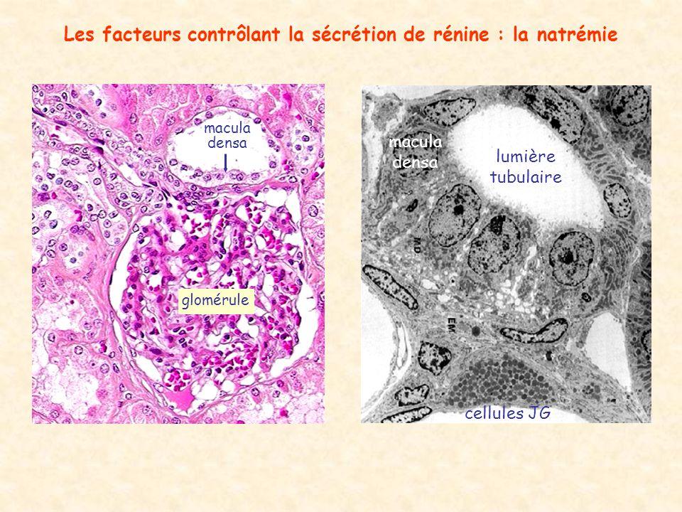 Les facteurs contrôlant la sécrétion de rénine : la natrémie macula densa cellules JG lumière tubulaire macula densa glomérule