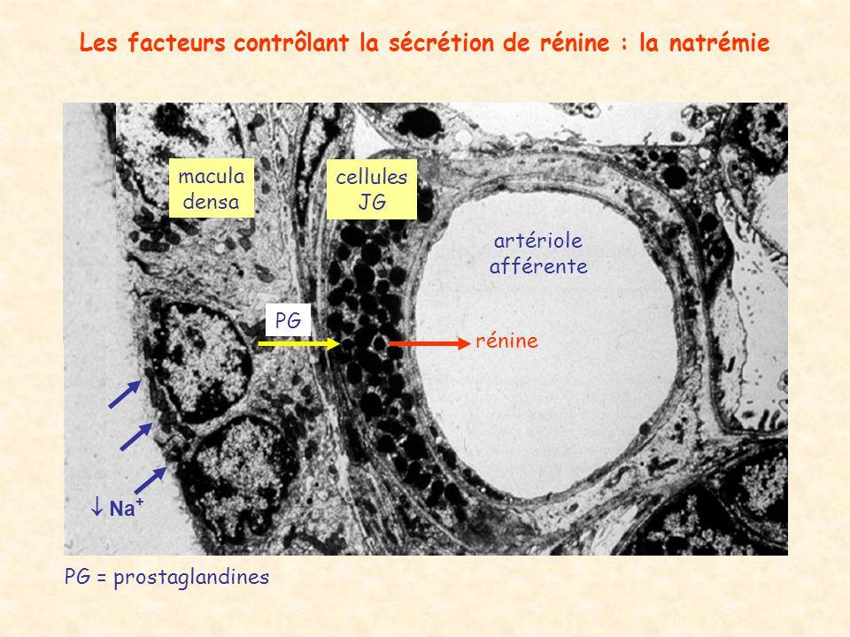 Les facteurs contrôlant la sécrétion de rénine : la natrémie artériole afférente macula densa cellules JG rénine PG PG = prostaglandines Na +