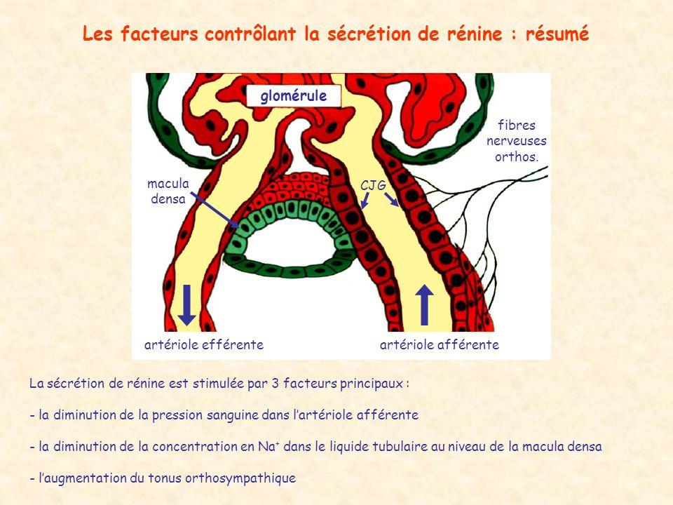 Les facteurs contrôlant la sécrétion de rénine : résumé glomérule artériole efférenteartériole afférente macula densa fibres nerveuses orthos.