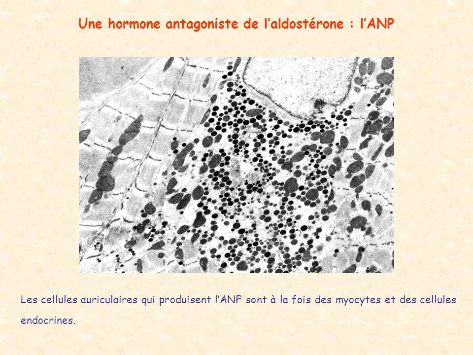Une hormone antagoniste de laldostérone : lANP Les cellules auriculaires qui produisent lANF sont à la fois des myocytes et des cellules endocrines.