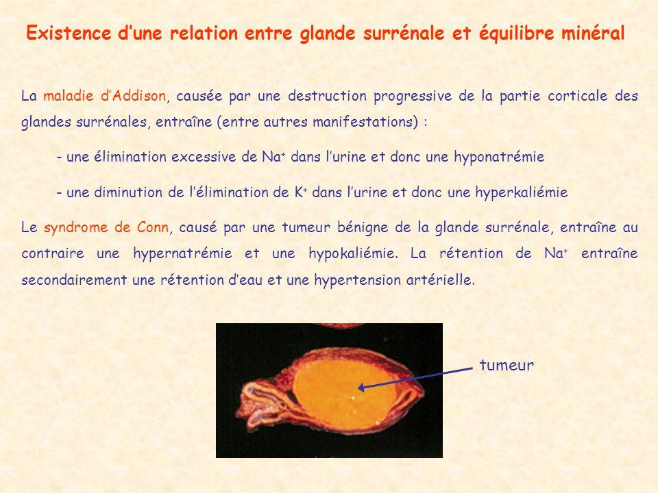 Existence dune relation entre glande surrénale et équilibre minéral La maladie dAddison, causée par une destruction progressive de la partie corticale des glandes surrénales, entraîne (entre autres manifestations) : - une élimination excessive de Na + dans lurine et donc une hyponatrémie - une diminution de lélimination de K + dans lurine et donc une hyperkaliémie Le syndrome de Conn, causé par une tumeur bénigne de la glande surrénale, entraîne au contraire une hypernatrémie et une hypokaliémie.