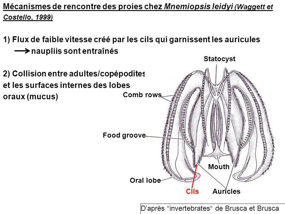 Mécanismes de rencontre des proies chez Mnemiopsis leidyi (Waggett et Costello, 1999) 1) Flux de faible vitesse créé par les cils qui garnissent les auricules naupliis sont entraînés 2) Collision entre adultes/copépodites et les surfaces internes des lobes oraux (mucus) Statocyst Mouth Auricles Comb rows Food groove Oral lobe Cils Daprès invertebrates de Brusca et Brusca