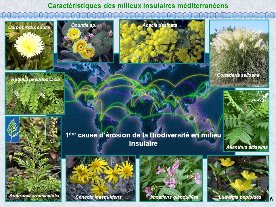 Caractéristiques des milieux insulaires méditerranéens Carpobrotus edulis Opuntia sp.Acacia dealbata Cortaderia selloana Ailanthus altissima Senecio i