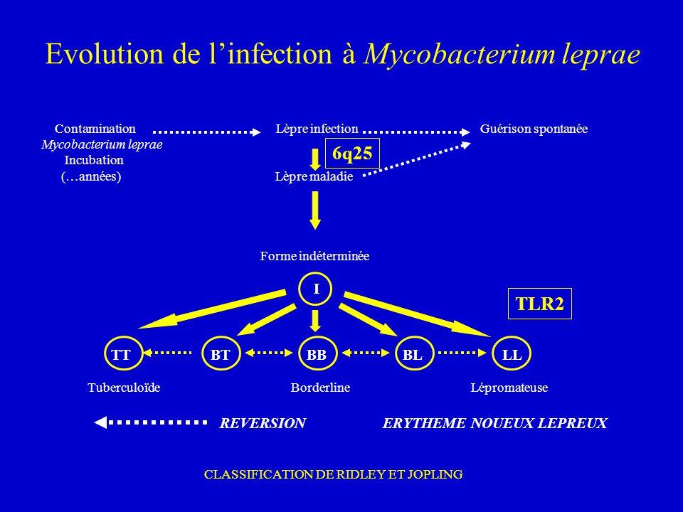Evolution de linfection à Mycobacterium leprae Contamination Lèpre infection Guérison spontanée Mycobacterium leprae Incubation (…années) Lèpre maladi