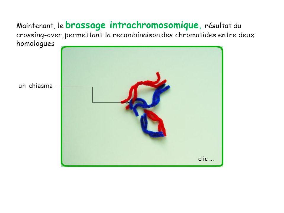 Ici, parmi les 4 gamètes obtenus, deux comportent des chromatides qui recombinent les allèles.