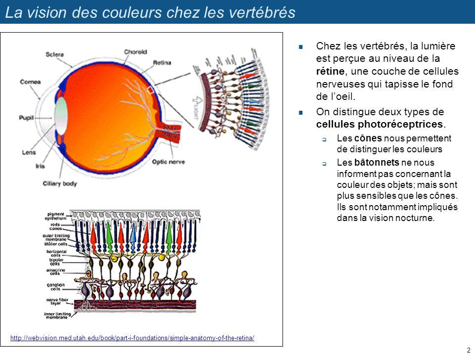 La vision des couleurs chez les vertébrés Chez les vertébrés, la lumière est perçue au niveau de la rétine, une couche de cellules nerveuses qui tapis