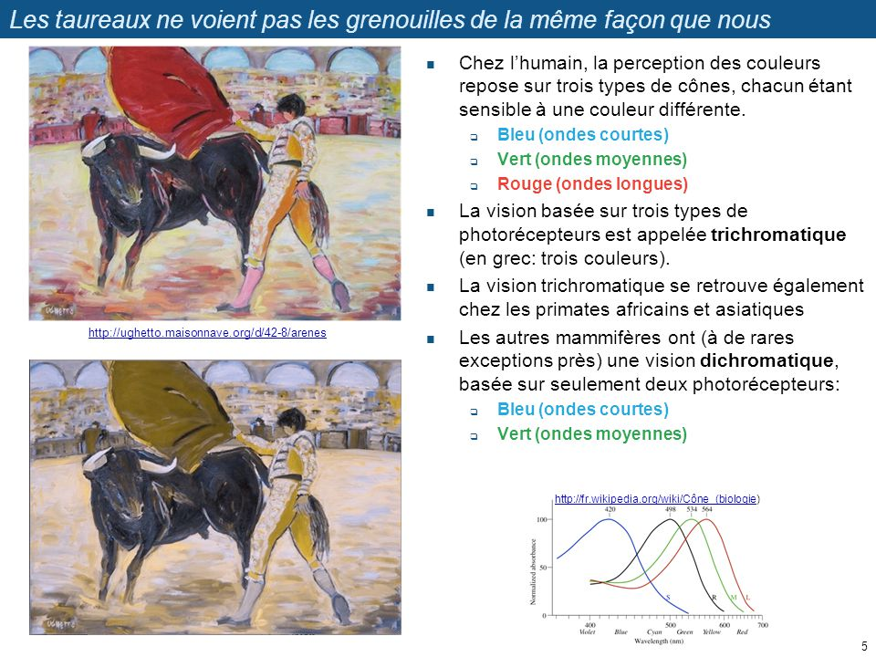 Les taureaux ne voient pas les toreros de la même façon que nous Les toréadors agitent une cape rouge pour exciter le taureau.
