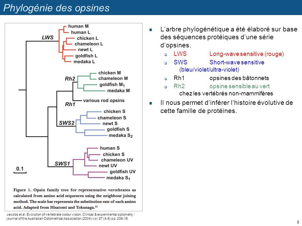 Phylogénie des opsines Larbre phylogénétique a été élaboré sur base des séquences protéiques dune série dopsines. LWSLong-wave sensitive (rouge) SWSSh