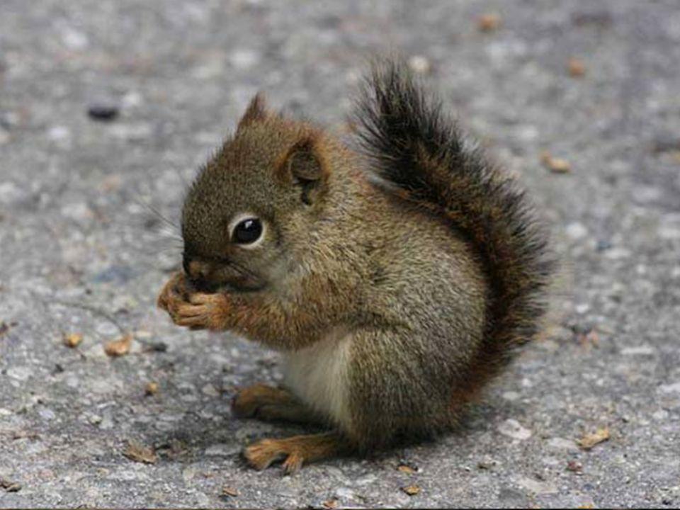 Écureuil roux et écureuil gris.
