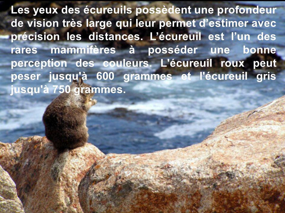 Les yeux des écureuils possèdent une profondeur de vision très large qui leur permet destimer avec précision les distances.