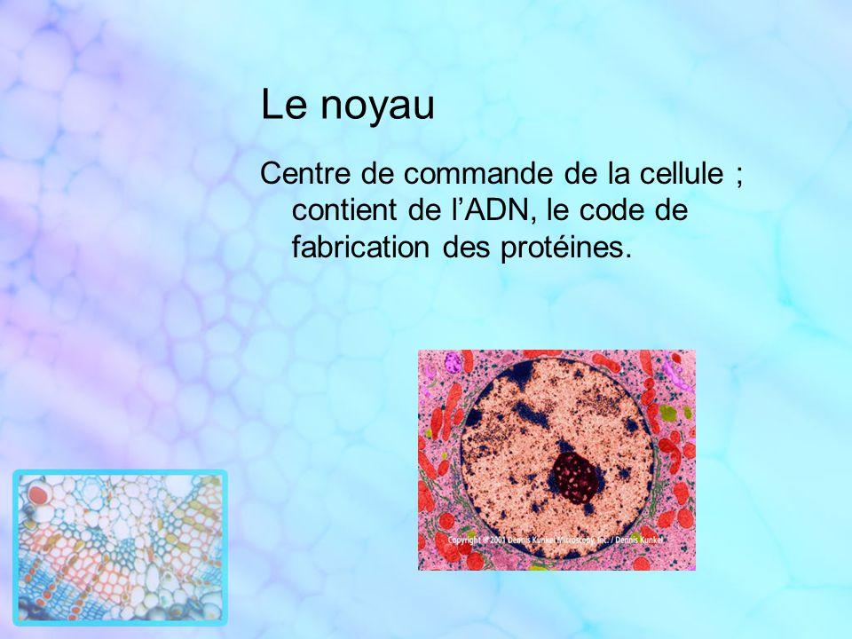Le noyau Centre de commande de la cellule ; contient de lADN, le code de fabrication des protéines.