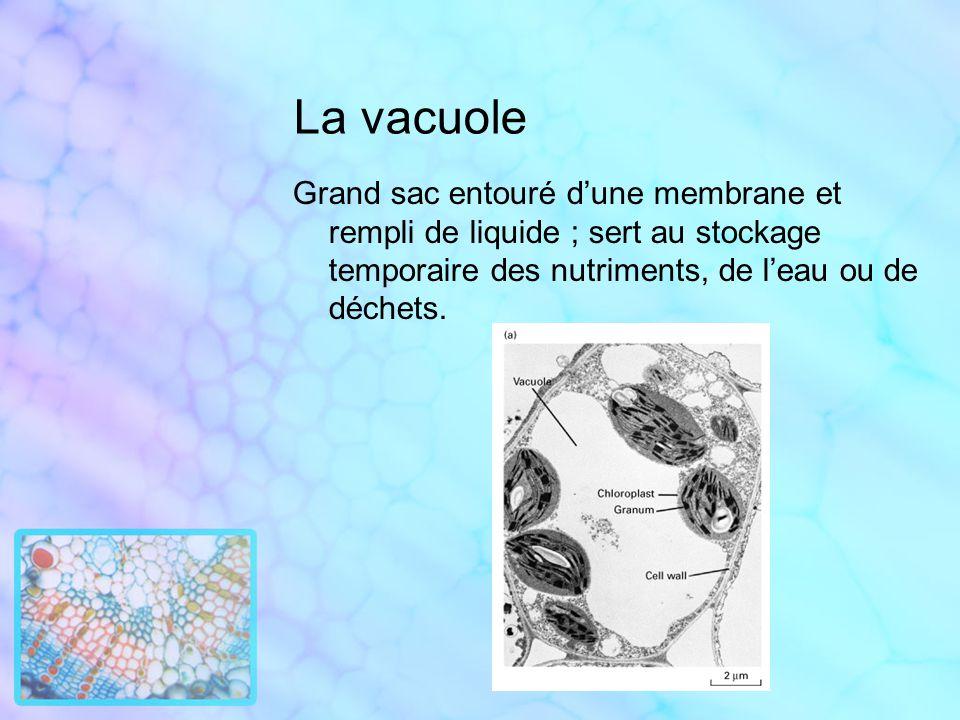 La vacuole Grand sac entouré dune membrane et rempli de liquide ; sert au stockage temporaire des nutriments, de leau ou de déchets.