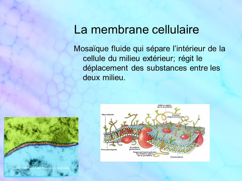 Le cytoplasme Matière gélatineuse composée principalement deau ; contient des substances dissoutes et crée le milieu chimique propice au fonctionnement des autres constituants cellulaires.