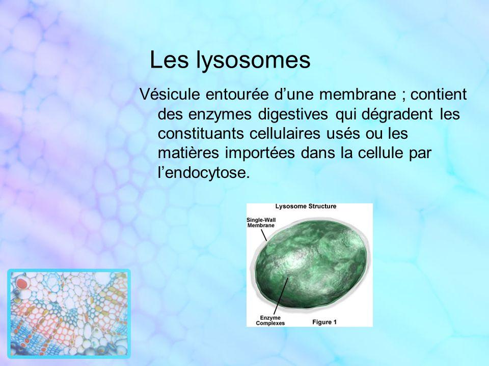 Les lysosomes Vésicule entourée dune membrane ; contient des enzymes digestives qui dégradent les constituants cellulaires usés ou les matières import