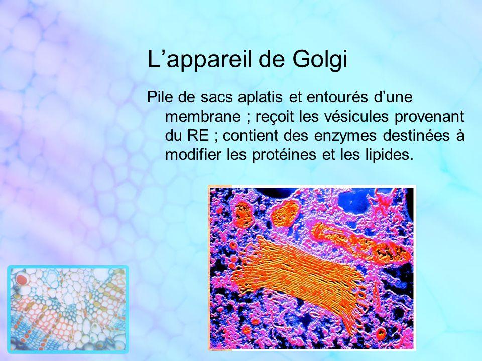 Lappareil de Golgi Pile de sacs aplatis et entourés dune membrane ; reçoit les vésicules provenant du RE ; contient des enzymes destinées à modifier l