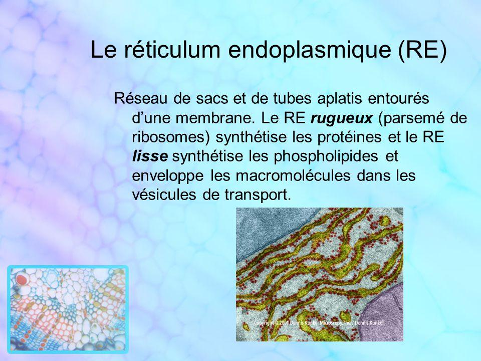 Le réticulum endoplasmique (RE) Réseau de sacs et de tubes aplatis entourés dune membrane. Le RE rugueux (parsemé de ribosomes) synthétise les protéin