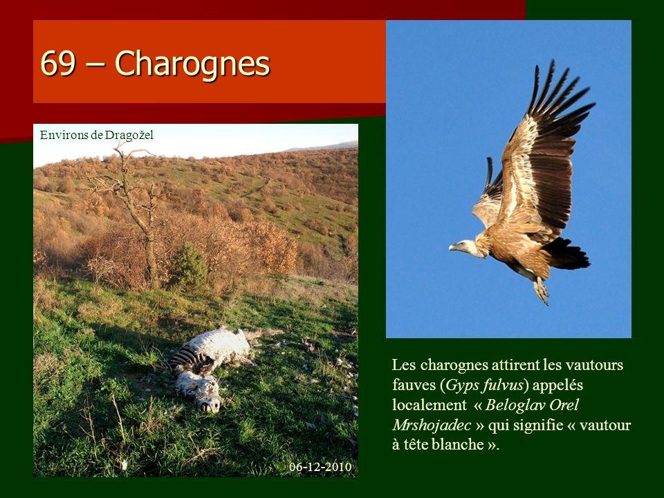 69 – Charognes Les charognes attirent les vautours fauves (Gyps fulvus) appelés localement « Beloglav Orel Mrshojadec » qui signifie « vautour à tête