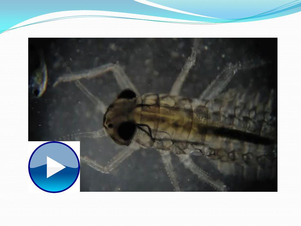 Carte didentité de lespèce Cest un mâle Ils peuvent mesurer de 3 à 40 mm de long Ils peuvent avoir plusieurs couleurscouleurs Leur corps est mince et