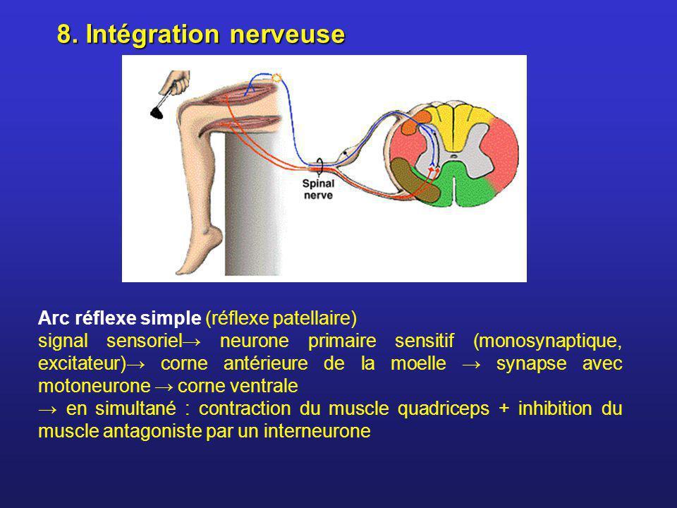 8. Intégration nerveuse Arc réflexe simple (réflexe patellaire) signal sensoriel neurone primaire sensitif (monosynaptique, excitateur) corne antérieu