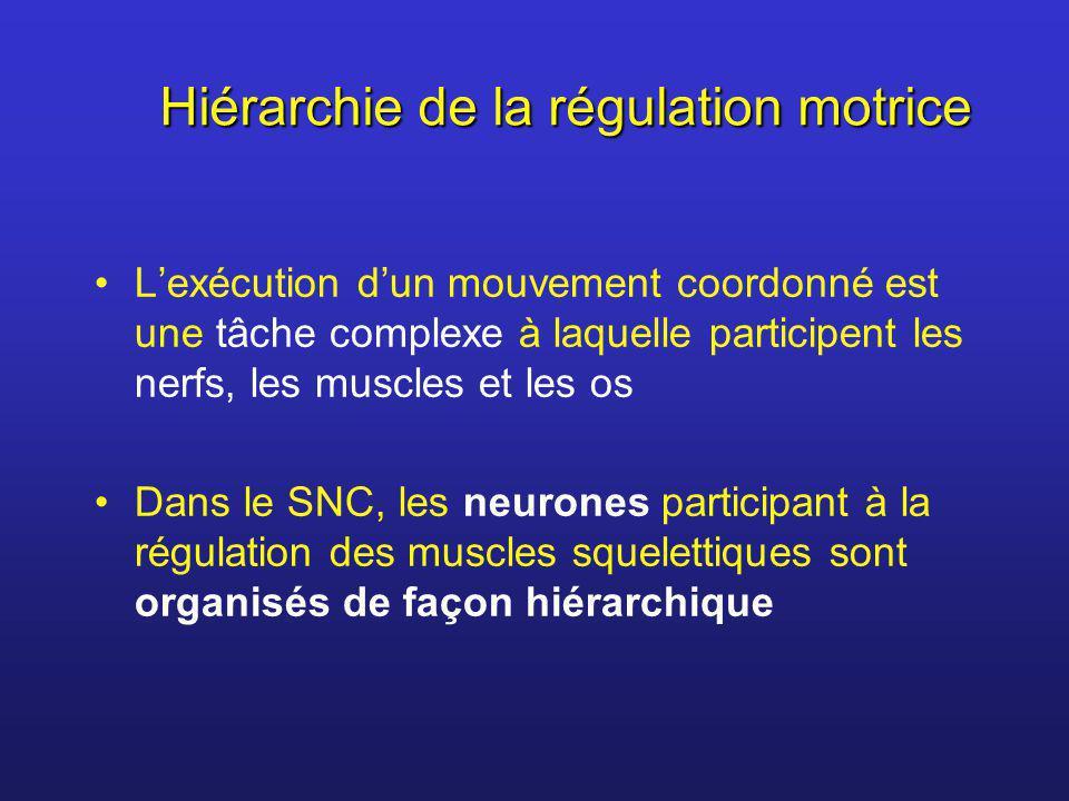 Hiérarchie de la régulation motrice Lexécution dun mouvement coordonné est une tâche complexe à laquelle participent les nerfs, les muscles et les os
