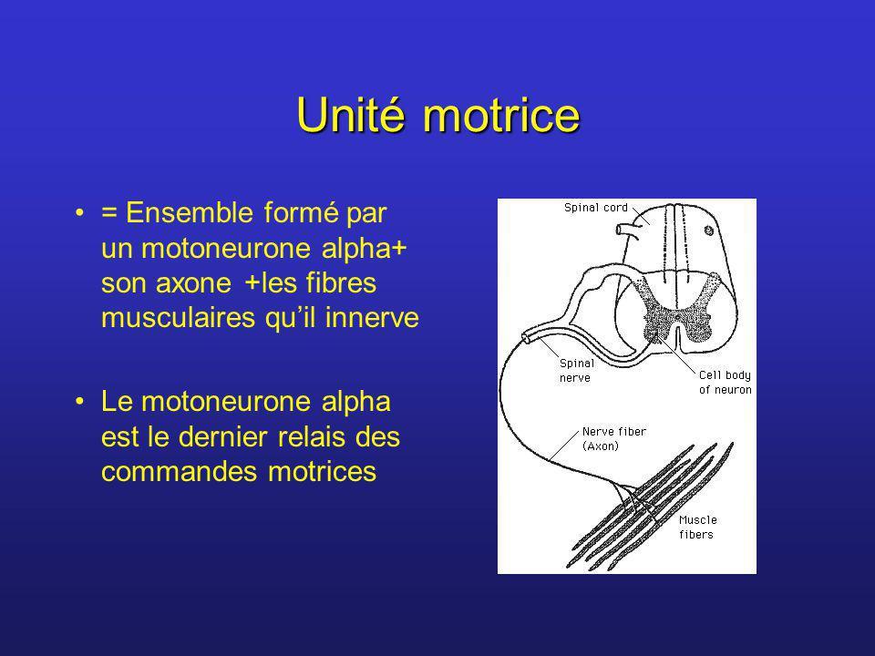 Unité motrice = Ensemble formé par un motoneurone alpha+ son axone +les fibres musculaires quil innerve Le motoneurone alpha est le dernier relais des