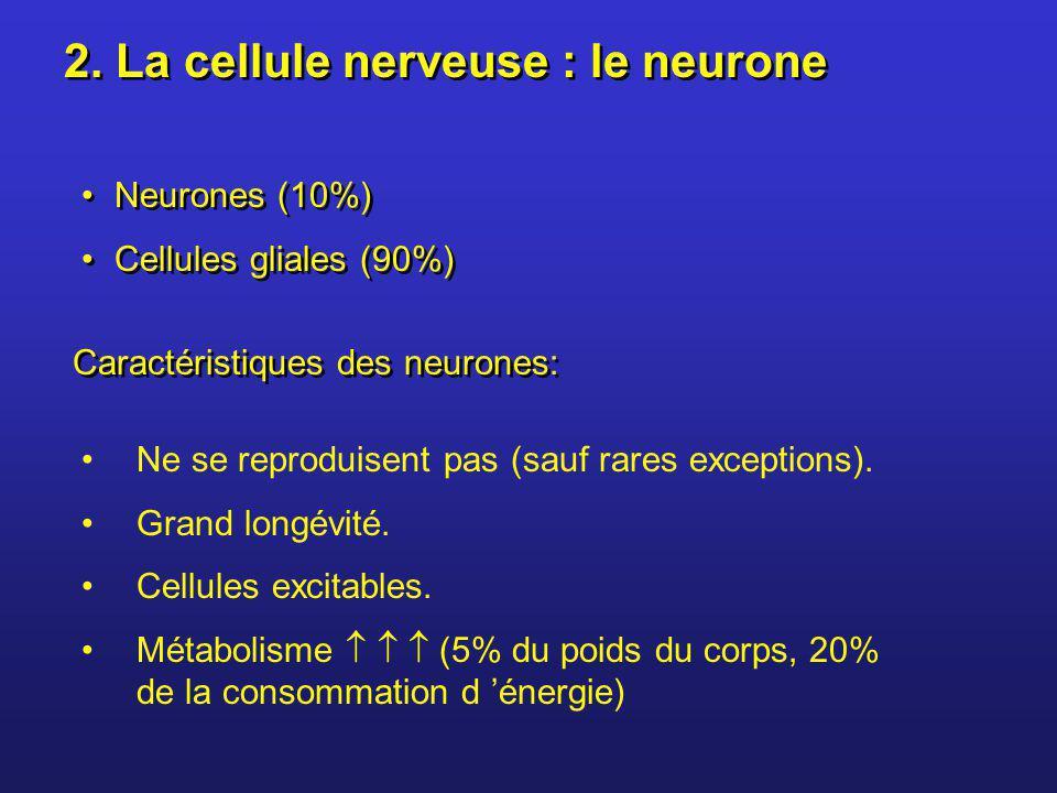 2. La cellule nerveuse : le neurone Neurones (10%) Cellules gliales (90%) Neurones (10%) Cellules gliales (90%) Ne se reproduisent pas (sauf rares exc