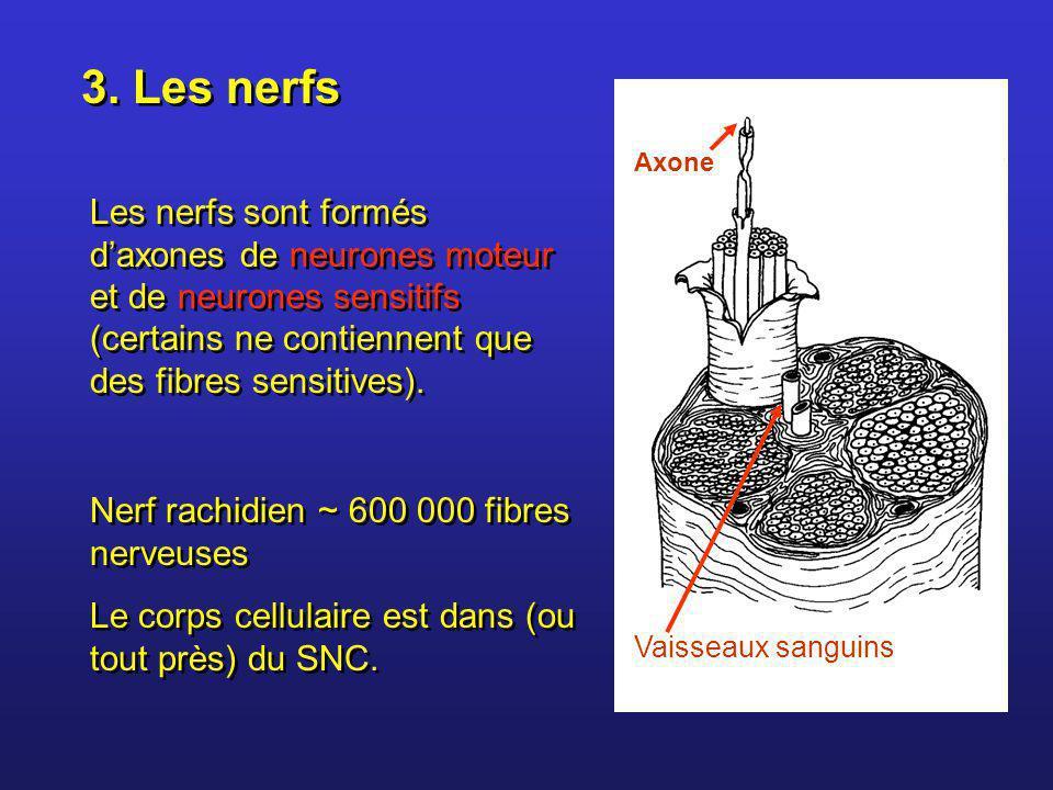 3. Les nerfs Les nerfs sont formés daxones de neurones moteur et de neurones sensitifs (certains ne contiennent que des fibres sensitives). Nerf rachi