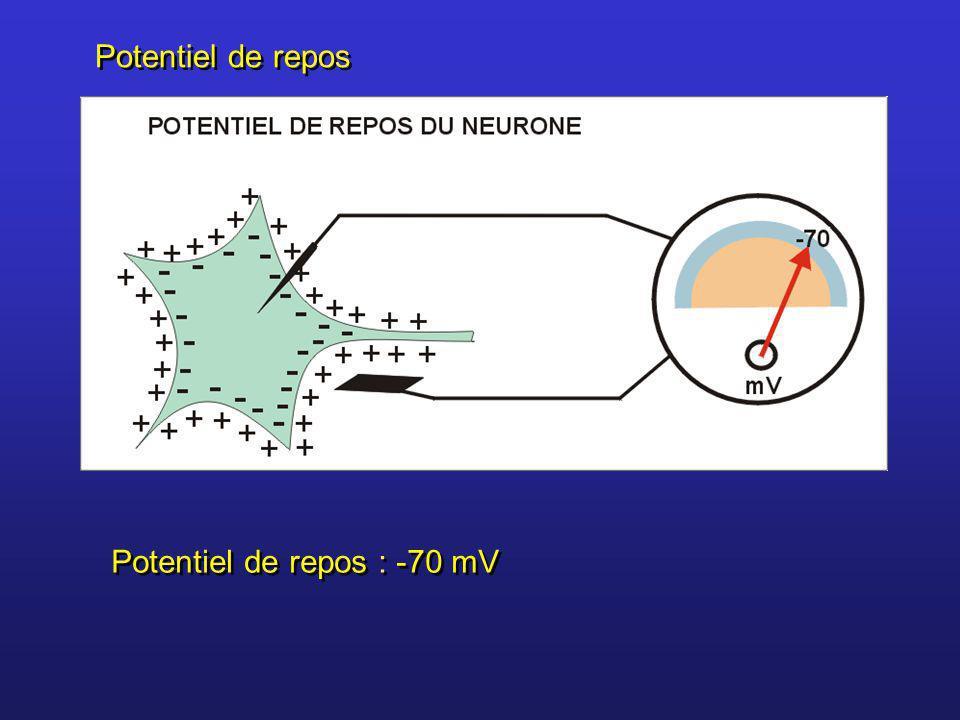 Potentiel de repos : -70 mV Potentiel de repos