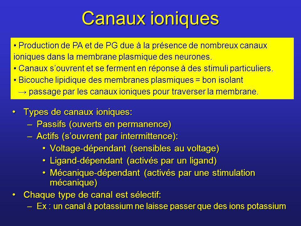 Canaux ioniques Types de canaux ioniques:Types de canaux ioniques: –Passifs (ouverts en permanence) –Actifs (souvrent par intermittence): Voltage-dépe