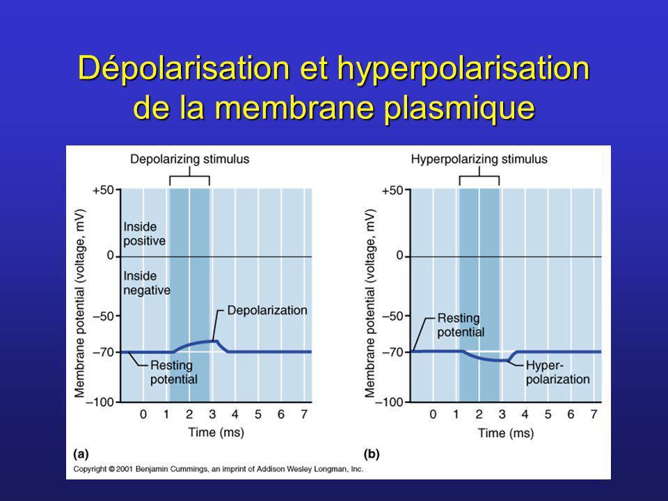 Dépolarisation et hyperpolarisation de la membrane plasmique