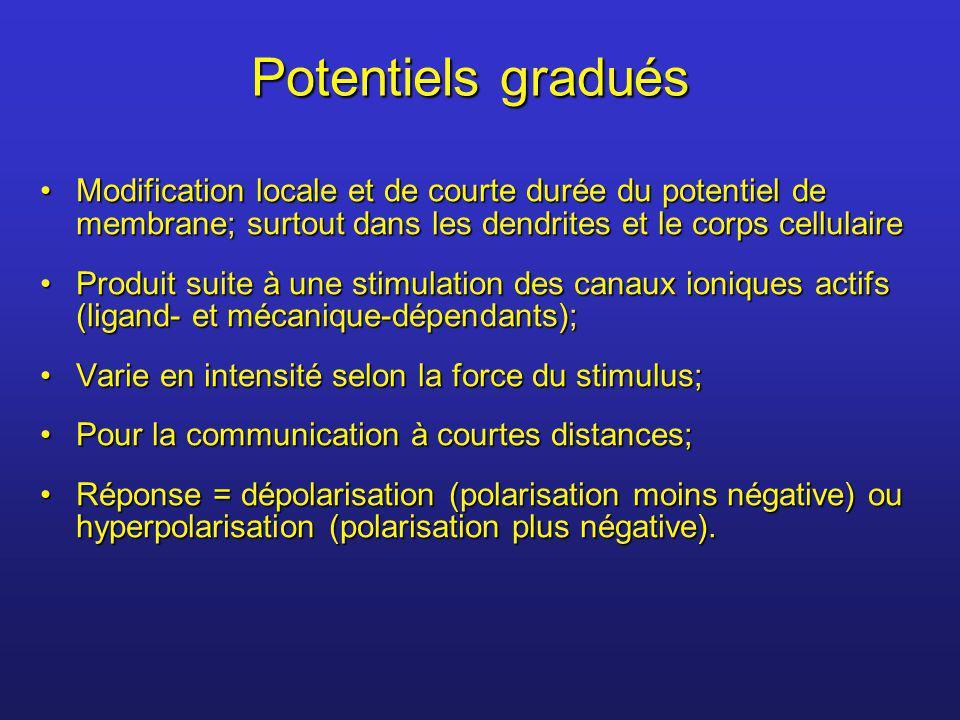 Potentiels gradués Modification locale et de courte durée du potentiel de membrane; surtout dans les dendrites et le corps cellulaireModification loca