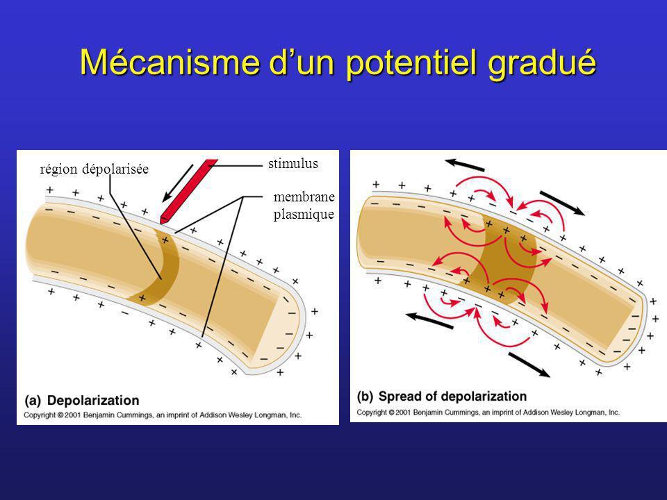 Mécanisme dun potentiel gradué région dépolarisée stimulus membrane plasmique