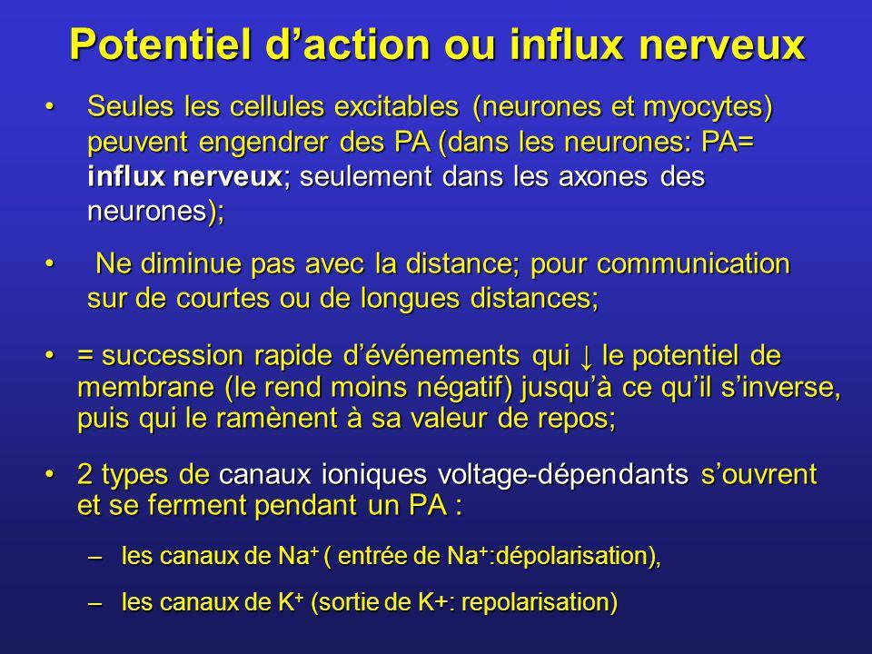 Potentiel daction ou influx nerveux = succession rapide dévénements qui le potentiel de membrane (le rend moins négatif) jusquà ce quil sinverse, puis