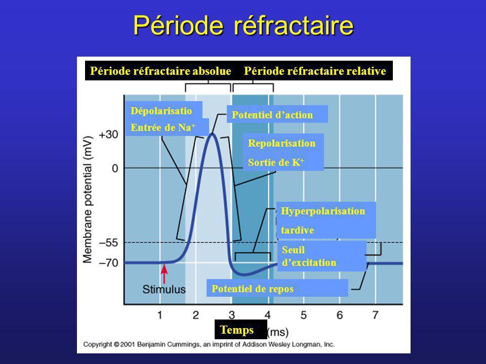 Période réfractaire Dépolarisatio n Entrée de Na + Période réfractaire absoluePériode réfractaire relative Potentiel de repos Seuil dexcitation Hyperp