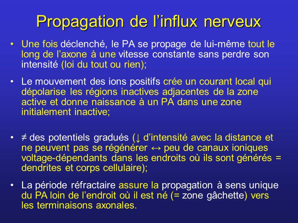 Propagation de linflux nerveux Une fois déclenché, le PA se propage de lui-même tout le long de laxone à une vitesse constante sans perdre son intensi