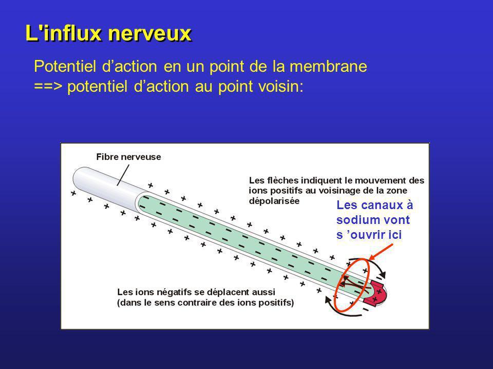 Potentiel daction en un point de la membrane ==> potentiel daction au point voisin: Les canaux à sodium vont s ouvrir ici L'influx nerveux