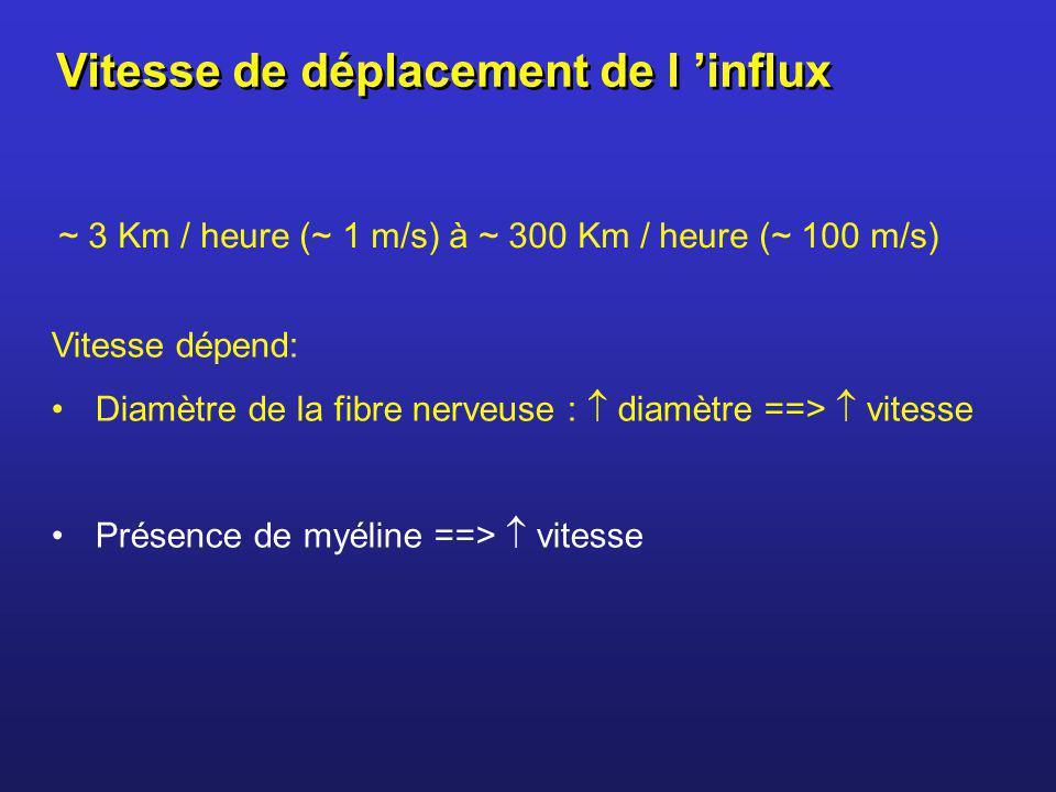 ~ 3 Km / heure (~ 1 m/s) à ~ 300 Km / heure (~ 100 m/s) Vitesse dépend: Diamètre de la fibre nerveuse : diamètre ==> vitesse Présence de myéline ==> v