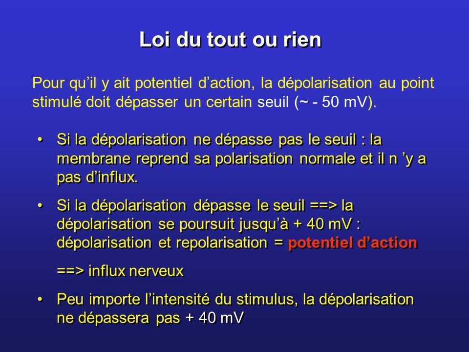 Loi du tout ou rien Pour quil y ait potentiel daction, la dépolarisation au point stimulé doit dépasser un certain seuil (~ - 50 mV). Si la dépolarisa