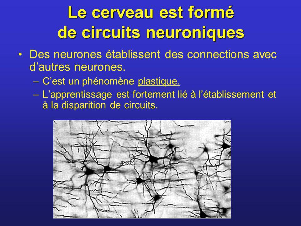 Le cerveau est formé de circuits neuroniques Des neurones établissent des connections avec dautres neurones. –Cest un phénomène plastique. –Lapprentis