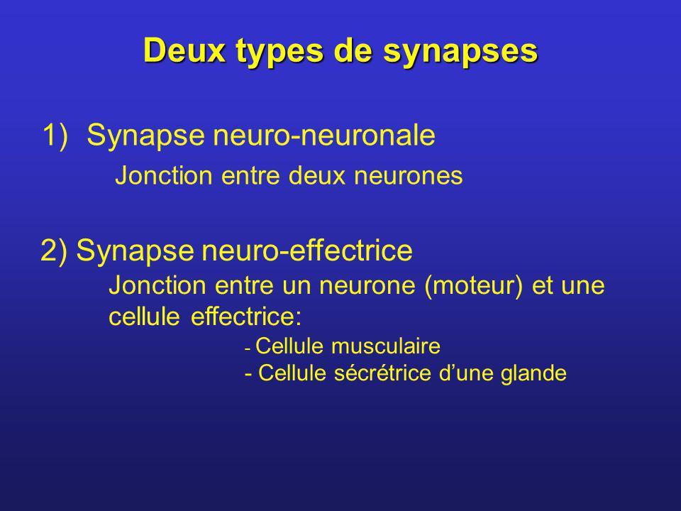 Deux types de synapses 1)Synapse neuro-neuronale Jonction entre deux neurones 2) Synapse neuro-effectrice Jonction entre un neurone (moteur) et une ce