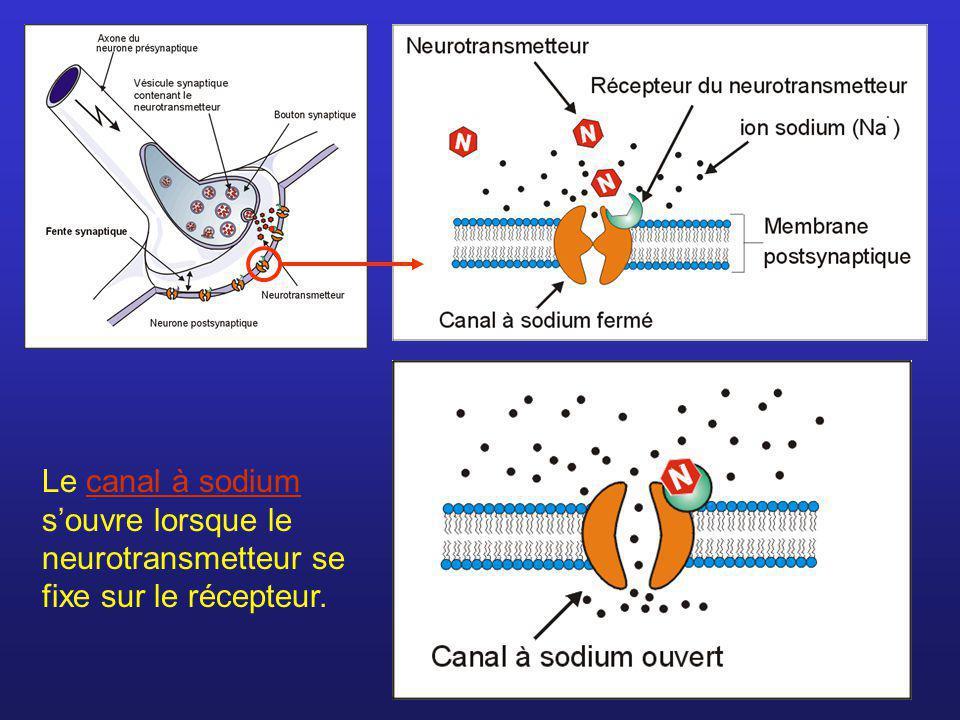Le canal à sodium souvre lorsque le neurotransmetteur se fixe sur le récepteur.canal à sodium