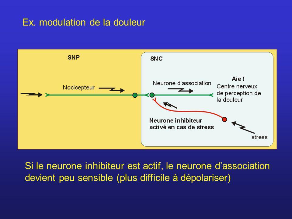 Ex. modulation de la douleur Si le neurone inhibiteur est actif, le neurone dassociation devient peu sensible (plus difficile à dépolariser)