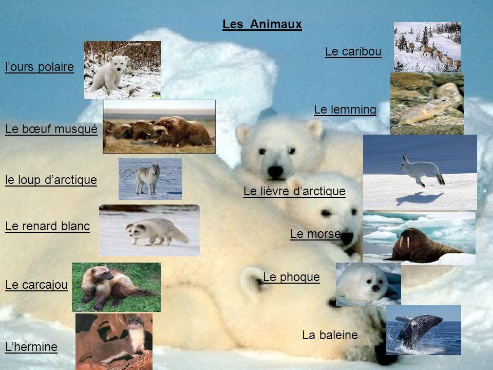 lours polaire Le bœuf musqué le loup darctique Le renard blanc Le carcajou Lhermine Les Animaux Le caribou Le lemming Le lièvre darctique Le morse Le