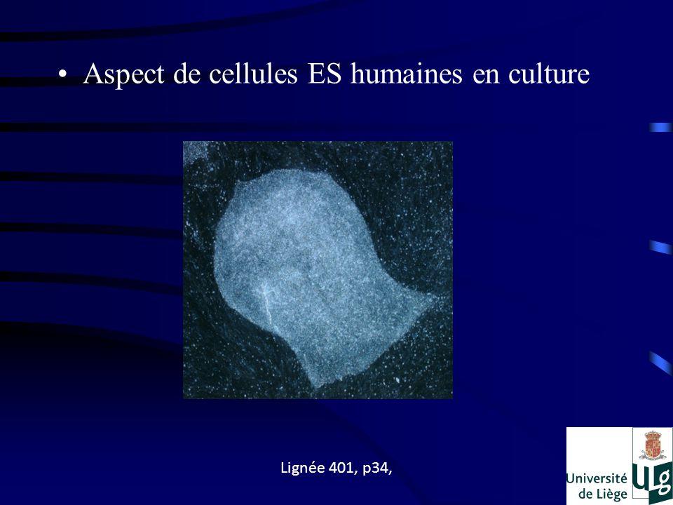 Aspect de cellules ES humaines en culture Lignée 401, p34,