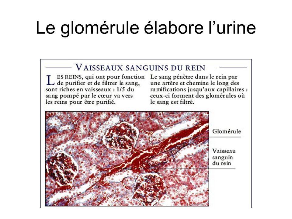 Le glomérule élabore lurine