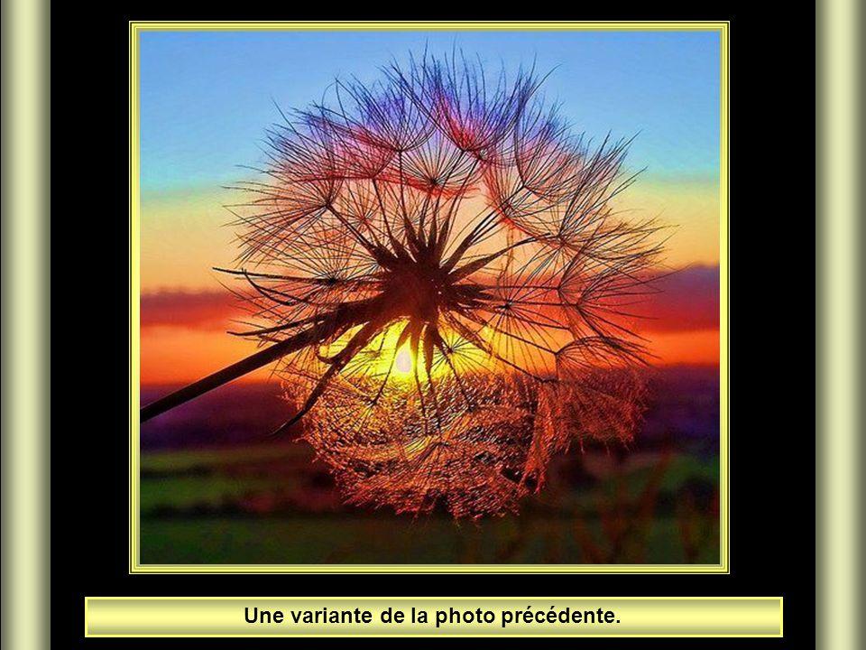 Dandelion au soleil couchant