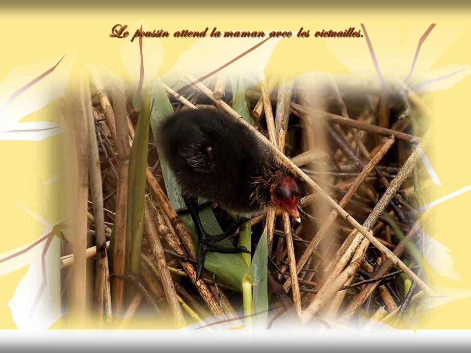 Le voilà tout seul sur le nid. La maman est partie chercher de quoi manger.