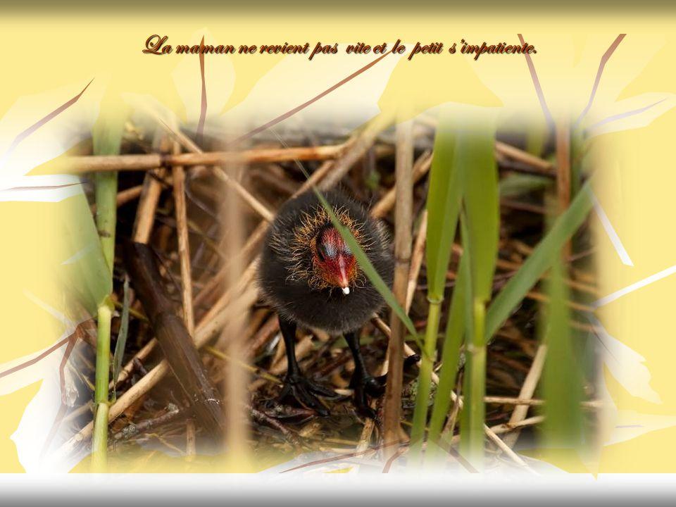 Le poussin attend la maman avec les victuailles.